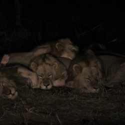 5 LIONS COUCHES ENSEMBLE DE NUIT